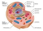 Eukaryote Cell $17.99