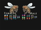 Fruit Fly Genome