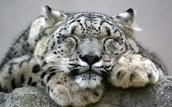 Snow Leopard Sleeping
