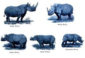 The Five Species of Rhino