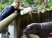 Pygmy hippo in a conservation center