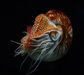Nautilidae Dormant