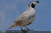 California State Bird