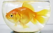 Are your Goldfish bored silly?