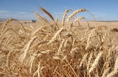 Facts about wheat