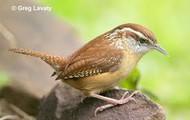 South Carolina Bird
