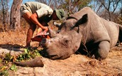 CUTTING OFF THE RHINO HORN AS A TROPHY