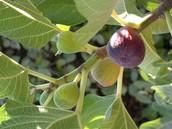 היתרונות והסגולות בתאנה: