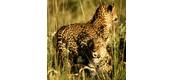 Leopard family