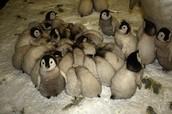 Little Pinguines
