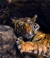 A Picture Of A Bengal Tiger Relaxing And What Its Face Looks likee
