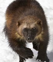 The wolverine.... no not the guy with the claws coming out of his hands!