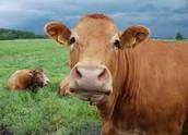 Cattle Industry