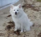 Kodiak, an American Eskimo Dog