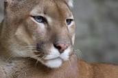 La Puma