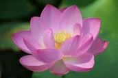 Scented Fake Lotus
