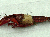 Respiratory System of a Crayfish
