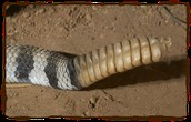 A Rattlesnake's Tail