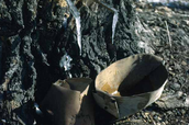 Birchbark buckets for collecting maple sap