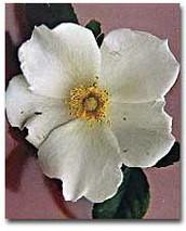 The Cherokee Rose