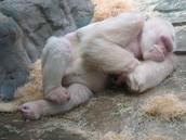 El Gorila blanco