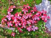 buchberry