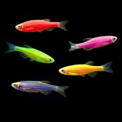 Glofish are genetically engineered zebrafish, created by using a special gene from ajellyfish.
