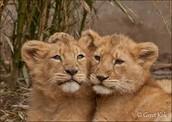 kom het zien de nieuwe leeuwen welpen in TOPZOO.