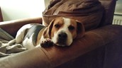 Dill the Beagle
