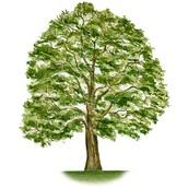 I'm a Sturdy Oak Tree