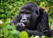 A sad looking gorilla....