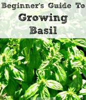 Beginners Guide to Growing Basil