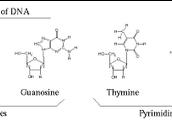 Nucleotides (Monomer)