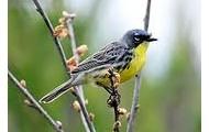 Kirtland Warbler is endagered