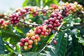 I benefici del caffè verde sulla salute