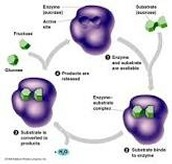 Cycle of Enzymes