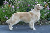 What A Golden's Full Body Looks Like