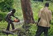 guys removing trees