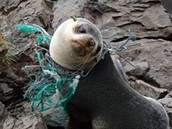 A sea lion trapped in a piece of discarded netting