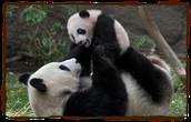 Pandas Having Fun