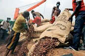 Cocoa Being shipped in bags that weigh as much as cement bags