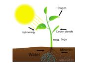 Photosynthesis Diagram