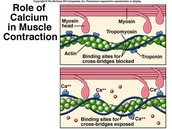 The role of calcium in the contraction