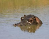 Hippo Inside of The Nile!..Watch out!