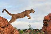 A Pumas Diet