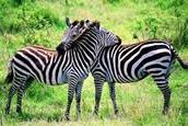 huging zebras are the nicest zebras