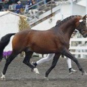 Bay-Dutch Warmblood