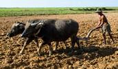 Buffalos helping to farm