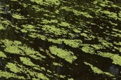 Duckweed (Araceae)