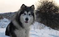5. Alaskan Malamute